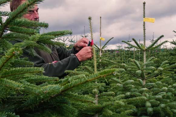 Weihnachtsbaum Pflegetipps